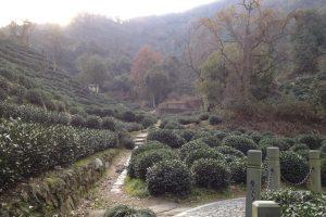 A tea plantation at Hugong Temple, near Hangzhou, China [FSL, 2011-12-23]